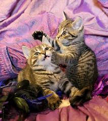 20190707_9889c (Fantasyfan.) Tags: kuunkissan raitapaidat fantasyfanin european kittens