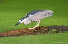 Black-crowned Night Heron (Geo Scouter) Tags: wildwoodlake harrisburg pennsylvania
