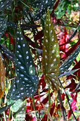 Polka time (lauren3838 photography) Tags: laurensphotography lauren3838photography plant polkadot nature ilovenature nikon d750 spots atlantabotanicalgarden atlanta botanical garden georgia colorful colors