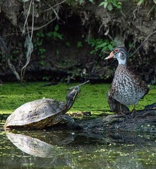The conversation... (Melinda G Pix) Tags: outdoor conversation nature waterfowl woodduck turtle duck