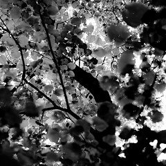 Up Through Trees 065 (noahbw) Tags: captaindanielwrightwoods d5000 dof nikon abstract blackwhite blackandwhite blur branches bw depthoffield dreamlike dreamy forest leaves light monochrome natural noahbw shadow square summer treetrunk trees woods