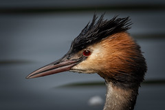 Great crested Grebe portrait. (sean4646) Tags: d500 nikon birds avian nature wildlife reddishvale tameside cheshire greatcrestedgrebe