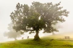The Cows (Ellen van den Doel) Tags: 2019 portugal vakantie april madeira