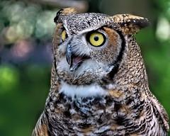 Great Horned Owl (Robert Holler Photography) Tags: bird birds owl brokeh