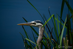 Blue Heron Amongst Plants (escape2eclipse) Tags: bird water plants nature wildlife sunny sun greatblueheron heron beautiful