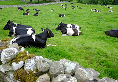 Welcome to Bainbridge Yorkshire (Adam Swaine) Tags: cows farming bainbridge yorkshire northyorkshire englishfields england english englishvillages rural ruralvillages beautiful counties countryside county uk ukcounties ukvillages britain british animals northeast nationalparks aonb thedales