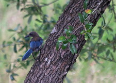 Woodhouse's Scrub Jay (austexican718) Tags: centraltexas hillcountry wildlife backyard bird fauna nature liveoak