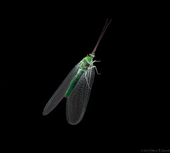 Lacewing in the Spotlight (pootlepod) Tags: insect wildlife small micro max lacewing spotlight resting colour nature raw natural wings lace species thorax body feel male female young