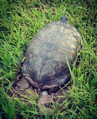 Red-Eared Slider Nesting (arlene sopranzetti) Tags: red eared slider turtle lenape park kenilworth new jersey summer egg laying