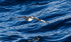 Cape Petrel (Daption capense) (Kremlken) Tags: daptioncapense pelagic seabirds chilean humboldtcurrent pacific ocean seas birds birding birdwatching nikon500 nature petrels