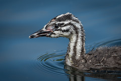 Young GCG (sean4646) Tags: d500 nikon birds avian nature wildlife reddishvale tameside cheshire chick greatcrestedgrebe