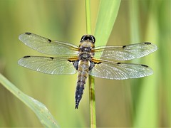 Four Spotted Chaser (doranstacey) Tags: nature wildlife insects dragonfly four spotted chaser macro kiveton woodland ponds lakes nikon d5300 tamron 150600mm
