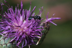 Combinazione elementare (lincerosso) Tags: fiori flowers asteraceae centaureasp insetti pronubi ape apidae relazioneecologica relazionetrofica bellezza armonia vita