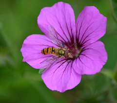 Hover flies & geranium (Dun.can) Tags: marmaladefly episyrphusbalteatus bokeh garden summer hoverfly fly insect flower geranium leicestershire macro