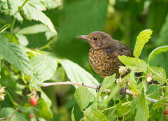 Juvenile Blackbird (Dibbly Dobbler) Tags: juvenile blackbird sonyrx10iii