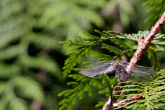Perching Dragonfly Bokeh (_chloechappell) Tags: dragonfly wings branch tree leaf bokeh macro detail canon canoncamera details nature