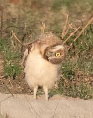 Burrowing Owl 19-38 (trdunn) Tags: burrowingowl owlet colorado coloradowildlife weldcounty wildlife summer
