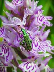 Male Thick legged Flower Beetle (Deida 1) Tags: malethickleggedflowerbeetle beetle green rspb coombesvalley staffordshire metalic nature oedemeranobils swollenthighedbeetle
