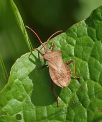 2019_05_0713 (petermit2) Tags: dockbug bug coreusmarginatus coreus coreidae sprotbrough doncaster southyorkshire yorkshire