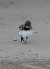 Oystercatcher (Martial2010) Tags: oystercatcher chick angus canon