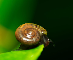 A Snail on the Leaf (abhijit.sen) Tags: joyofgettingdrenched new nature macro rain invertebrate snail