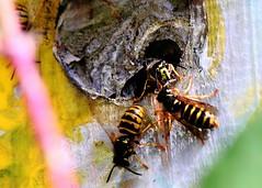 Don't be fooled by the smile (#danger) (kerwitcherwoo) Tags: macromondays danger wasps uk garden nature