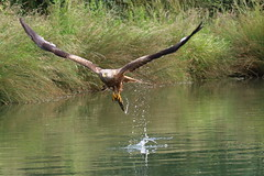 Red Kite (PARMAR2009) Tags: red kite rutland water pond fish trout caught splash nature wild flight flying holding canon 7d dead catching uk england british brown raptor prey hunting