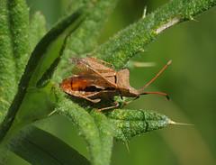 2019_05_0718 (petermit2) Tags: dockbug bug coreusmarginatus coreus coreidae sprotbrough doncaster southyorkshire yorkshire