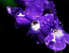 Violet Flower with water droplet (abhijit.sen) Tags: bright flower tamron macro nature floral violet bloom