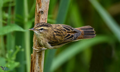 Sedge Warbler. (spw6156 - Over 8,403,100 Views) Tags: sedge warbler copyright steve waterhouse