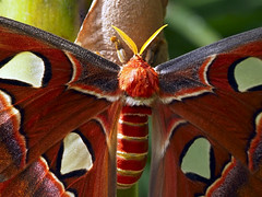 Detall de papallona nocturna