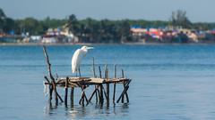 White Heron in front of Playa Larga
