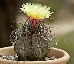 Mein Struwelpeter * My mophead .. ;))) * Mi cabeza de fregona .. ;))) *  .             _DSC0538-001 (Maya HK - On and Off) Tags: 070719 2019 astrophytumcapricorne blüten blütengelb bockshornkaktusastrophytumcapricorne cactus cactusblossoms cactusflowers copyrightbymayahk españa flickr flor flordecactus flores floresdecactus flowers garden garten heimatmexiko jardín kakteen kakteenblüten kaktus kaktusblüten makro nikond3200 pflanzen plantas plants spain spanien yemasflorales ziegenhörnigebischofsmütze