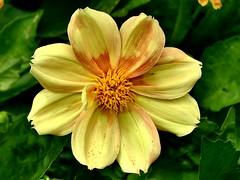 Dahlia 2.7.19 (ericy202) Tags: dahlia bedding yellow peachmarkings
