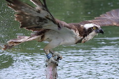 Osprey out fishing (PARMAR2009) Tags: osprey raptor bird prey wild wildlife water lake pond catching fish trout fishing rutland farm england uk great britain canon 7d 100 400 28 horn mill