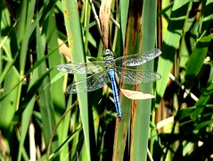 distant Emperor M 7.7.19 (ericy202) Tags: male emperor dragonfly reeds perched