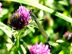 teneral Damselfly 7.7.19 (ericy202) Tags: bluetailed damselfly immature teneral red clover flower ischnura elegens