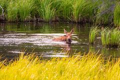 06.27.19 500_8010 (*Ron Day*) Tags: wildlife animal moose calf swimming alaska wilderness nikon d500 200500