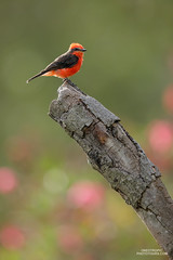 Vermilion Flycatcher (www.NeotropicPhotoTours.com) Tags: juancarlosvindasphotography juancarlosvindas birdphotography birding birdwatching naturephotography bird neotropicphototours costarica ecuador nature wildlife outdoors green art trees new macro flowers tree sky animal rainforest canongear daytime day phototour beautyinnature southamerica avian aves vermillionflycatcher pyrocephalusobscurus