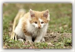 Cat. (reignier-fabien) Tags: chat cat felin