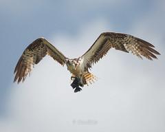 Osprey and fish (14Seven) Tags: fauna trinidad raptors osprey lavega pandionhaliaetus grancouva couva trinidadandtobago
