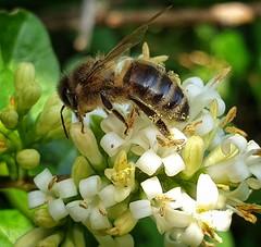 Busy bee..... (niknak2016) Tags: bee pollinator wingedinsect insect pollen naturephotography nature wildlife countrysidephotography countryside collecting busybee mothernature naturalbeauty beautyinnature closeup bokeh macro macrophotography naturelovers