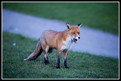 IMG_0048-6 Red Fox (Scotchjohnnie) Tags: redfox vulpesvulpes vulpes fox mammal canidae canine vixen female wildlife wildlifephotography wildanimal wildandfree nature naturephotography canon canoneos canon6d canonef70200mmf28lisiiusm scotchjohnnie