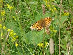 Dark Green Fritillary (John Clift) Tags: warwickshire butterflies wildlife warwickshirewildlifetrust