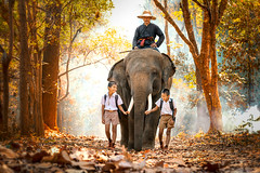 Mahout and student little asian in uniform are raising elephants on walkway in forest. Student little asian boy with him elephant, Tha Tum District, Surin, Thailand. (pomp_jaideaw) Tags: thailand elephant mahout forest man asian student travel animal wildlife mammal nature boy happy lifestyle wild rural surin child tourism poor cambodia laos walking countryside people girl face tree young education asia school large thai local myanmar natural smile outdoor teacher walkway environment kid drive rustic safari malaysia vietnam