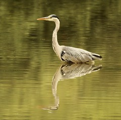 Heron reflection (jriveagh) Tags: canon can water reflection bird heron