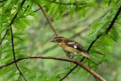 Female Grosbeak (jwfuqua-photography) Tags: nature birds peacevalleynaturecenter pennsylvania jerrywfuqua rosebreastedgrosbeak buckscountyparks buckscounty jwfuquaphotography