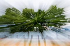 Hallucinogenic tree