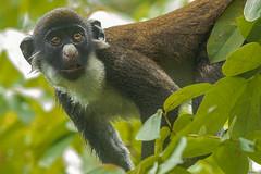 CERCOPITECO NASOBIANCO (Ezio Donati is ) Tags: animali animals natura nature foresta forest fiume river alberi trees westafrica costadavorio areasanpedro areafiumelanero