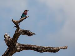 (Markus Hill) Tags: africa travel tree bird nature animal canon tanzania afrika vogel manyara tansania 2019 tarangiere